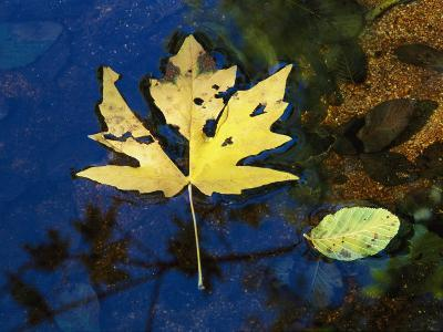 A Big Leaf Maple Leaf Floats Down the Merced River-Marc Moritsch-Photographic Print
