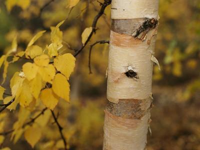 A Birch Tree Yellowed by the Autumn Season-Raymond Gehman-Photographic Print