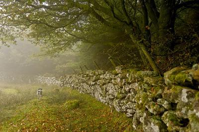 A Bird Dog Trots Along a Stone Fence in the Southwest of England-Medford Taylor-Photographic Print