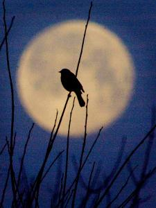 A Bird is Silhouetted against a Full Moon Before Sunrise Friday Morning