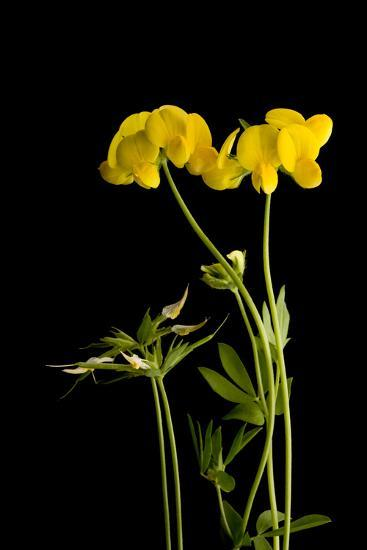 A Birdsfoot Trefoil Plant, Lotus Corniculatus-Joel Sartore-Photographic Print