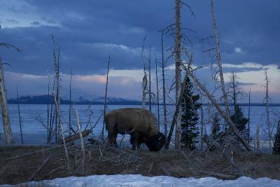 A Bison at Mary's Bay in Yellowstone National Park-Michael Nichols-Photographic Print