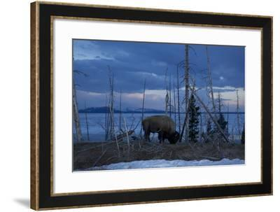 A Bison at Mary's Bay in Yellowstone National Park-Michael Nichols-Framed Photographic Print