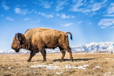 A Bison in the 24,700-Acre National Elk Refuge Near Jackson, Wyoming-Charlie James-Photographic Print