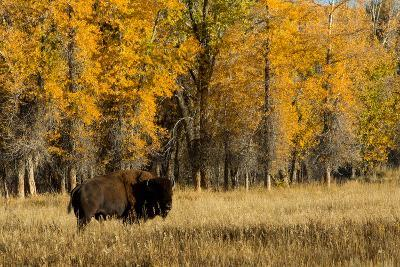 A Bison Stands in Grand Teton National Park-Charlie James-Photographic Print