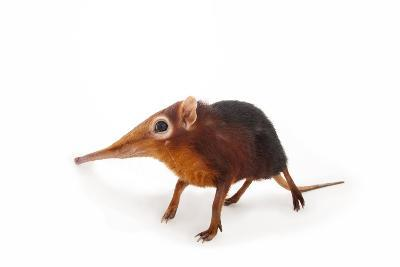 A Black and Rufous Elephant Shrew, Rhynchocyon Petersi, at Omaha's Henry Doorly Zoo and Aquarium-Joel Sartore-Photographic Print