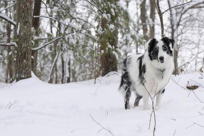 A Black and White Australian Shepherd Dog Stands in Newly Fallen Snow Near the Edge of a Thicket-Amy, Al White, Petteway-Photographic Print