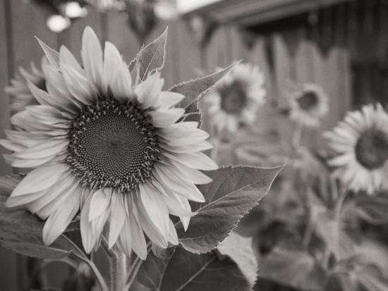 A Black and White Photograph of a Sunflower-Stacy Gold-Photographic Print