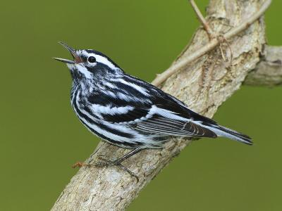A Black and White Warbler, Miniotilta Varia, Singing on a Tree Branch-George Grall-Photographic Print