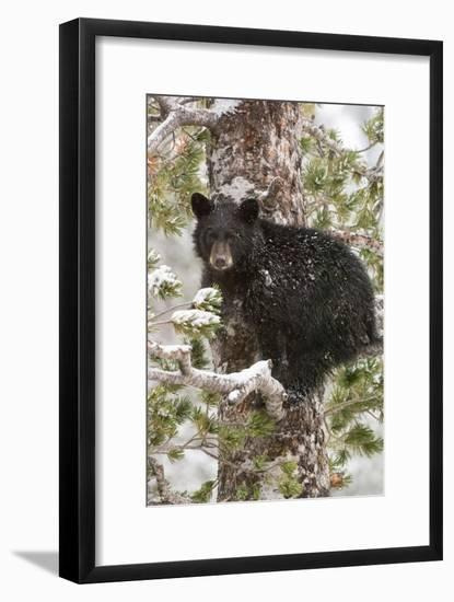 A Black Bear Cub Sits on a Snow Covered Tree Branch Looking Around-Tom Murphy-Framed Photographic Print