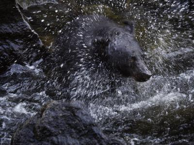 A black bear hunting for salmon in Anan Creek-Melissa Farlow-Photographic Print