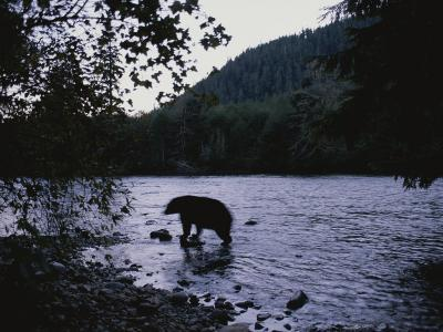 A Black Bear Searches for Sockeye Salmon in Shallow Waters-Joel Sartore-Photographic Print