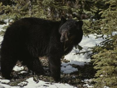 A Black Bear Takes a Look Around-Michael S^ Quinton-Photographic Print