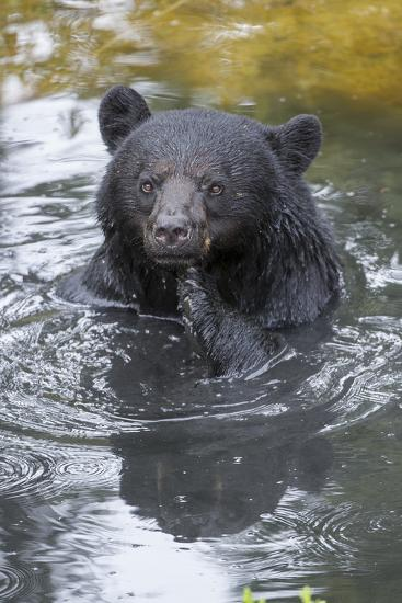 A Black Bear, Ursus Americanus, Scratches Himself While in a Pool of Water-Barrett Hedges-Photographic Print