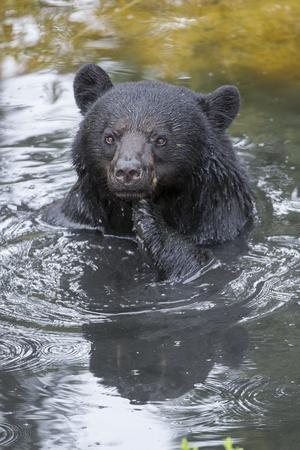 https://imgc.artprintimages.com/img/print/a-black-bear-ursus-americanus-scratches-himself-while-in-a-pool-of-water_u-l-pwdhfw0.jpg?p=0