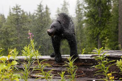 A Black Bear, Ursus Americanus, Shakes Water Off Himself-Jill Schneider-Photographic Print