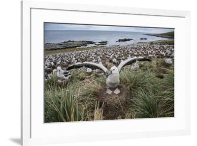 A black-browed albatross extends its wings in front of the albatross colony on the beach.-Michael Melford-Framed Photographic Print