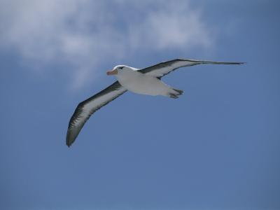 A Black-Browed Albatross in Flight in a Clear Blue Sky-Gordon Wiltsie-Photographic Print