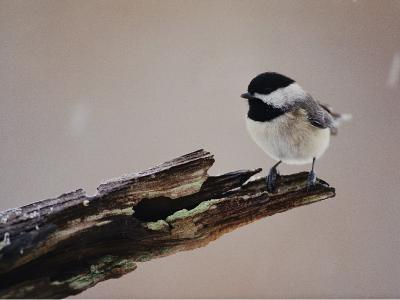 A Black-Capped Chickadee-George F^ Mobley-Photographic Print
