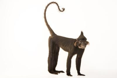 A Black Crested Mangabey, Lophocebus Aterrimus, at the Chattanooga Zoo-Joel Sartore-Photographic Print