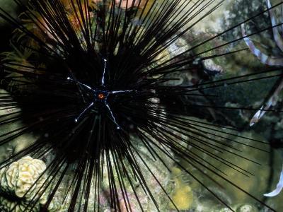 A Black Diadema Sea Urchin-Wolcott Henry-Photographic Print