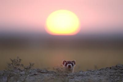 A Black-Footed Ferret, Mustela Nigripes, Peering from its Burrow at Sunset-Michael Forsberg-Photographic Print