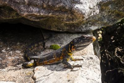 A Black Girdled Lizard, Cordylus Niger, Suns Itself on a Rock at Table Mountain National Park-Jason Edwards-Photographic Print
