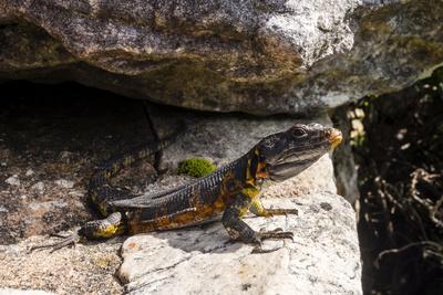 https://imgc.artprintimages.com/img/print/a-black-girdled-lizard-cordylus-niger-suns-itself-on-a-rock-at-table-mountain-national-park_u-l-pyxvr40.jpg?p=0