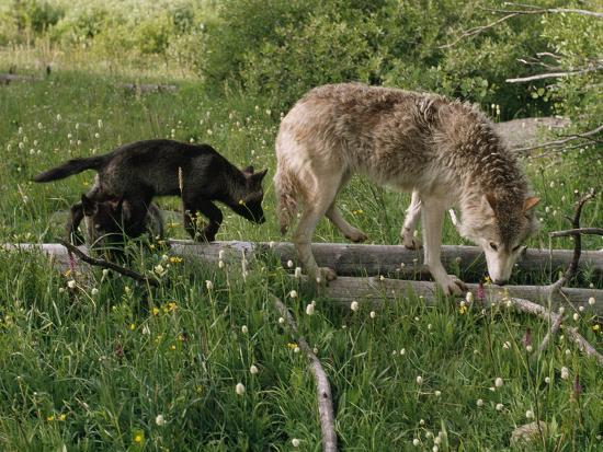 A Black Gray Wolf Pup Follows a Mid-Ranking Female Adult-Jim And Jamie Dutcher-Photographic Print
