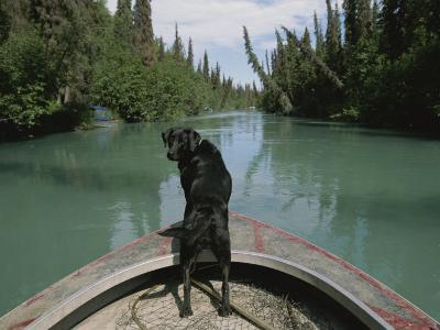 A Black Labrador Dog Travels up the Kenai River on a Boats Bow-Joel Sartore-Photographic Print