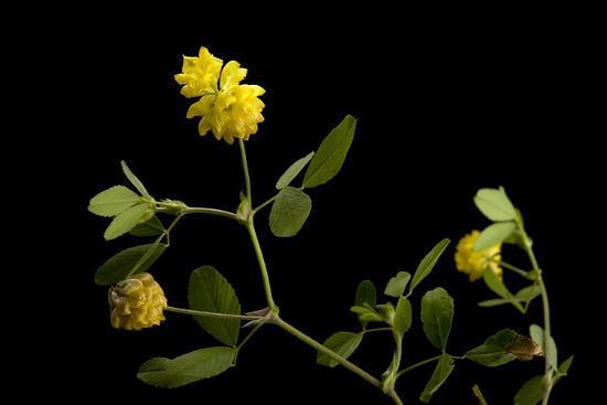 A Black Medick Plant, Medicago Lupulina-Joel Sartore-Photographic Print