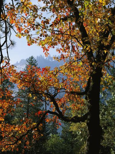 A Black Oak Tree (Quercus Kelloggii) in Yosemite Valley-Marc Moritsch-Photographic Print