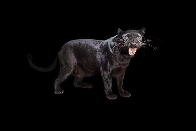A Black Phase African Leopard, Panthera Pardus Pardus, at the Alabama Gulf Coast Zoo.-Joel Sartore-Photographic Print