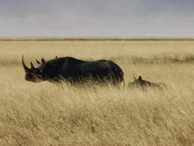https://imgc.artprintimages.com/img/print/a-black-rhinoceros-and-her-youngster-walk-in-the-tall-grass_u-l-p3lc080.jpg?p=0