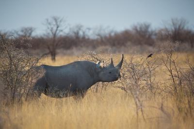 A Black Rhinoceros, Diceros Bicornis, Feeds Off a Spiny Acacia Bush at Sunset-Alex Saberi-Photographic Print