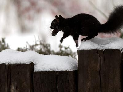 A Black Squirrel Leaps Along a Snow Covered Fence--Photographic Print