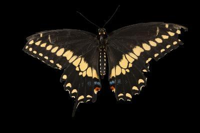 A Black Swallowtail Butterfly, Papilio Polyxenes, at the Lincoln Children's Zoo-Joel Sartore-Photographic Print