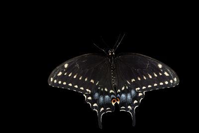A Black Swallowtail, Papilio Polyxenes, at the Minnesota Zoo-Joel Sartore-Photographic Print