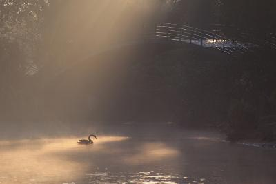 A Black Swan Glides Through Golden Sunrise Mists of Ibirapuera Park-Alex Saberi-Photographic Print