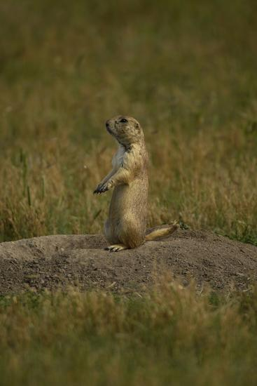 A Black-Tailed Prairie Dog, Cynomys Ludovicianus, at the Entrance to its Burrow-Michael Forsberg-Photographic Print