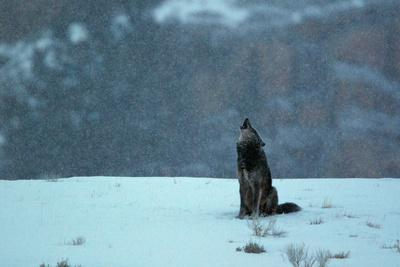 Surprising A Black Wolf Canis Lupus Howling In An Early Morning Snow Fall Photographic Print By Barrett Hedges Art Com Alphanode Cool Chair Designs And Ideas Alphanodeonline