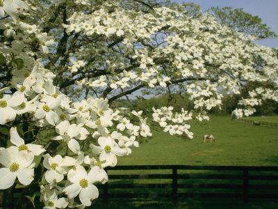 https://imgc.artprintimages.com/img/print/a-blossoming-dogwood-tree-in-virginia_u-l-p3qsep0.jpg?p=0