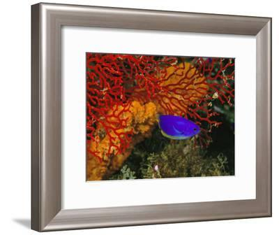 A Blue and Gold Damselfish against a Red Gorgonian Coral-Tim Laman-Framed Photographic Print
