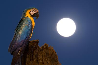 A Blue-And-Yellow Macaw, Ara Ararauna, on a Palm Tree Trunk with a Full Moon-Edson Vandeira-Photographic Print