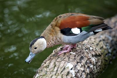 A Blue Billed Duck in Kowloon Park, Hong Kong, Captive-Richard Wright-Photographic Print
