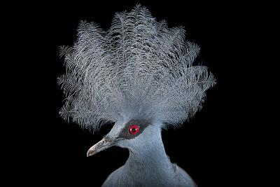 A Blue Crowned Pigeon, Goura Cristata, at Omaha's Henry Doorly Zoo and Aquarium-Joel Sartore-Photographic Print