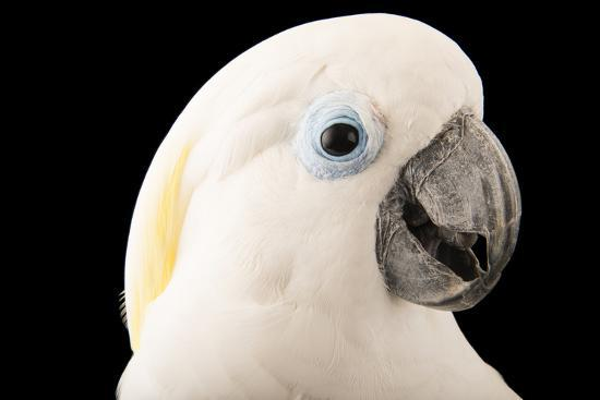 A blue eyed cockatoo, Cacatua ophthalmica, at the Jurong Bird Park   Photographic Print by Joel Sartore   Art com