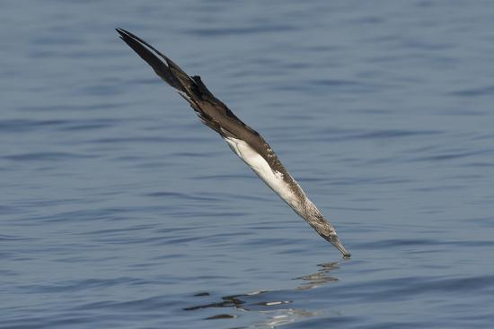 A Blue-Footed Booby Plu Ge Dives into the Pacific Ocean Near Santiago Island-Jeff Mauritzen-Photographic Print