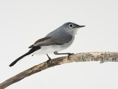A Blue-Gray Gnatcatcher, Polioptila Caerulea, on a Branch-Joel Sartore-Photographic Print