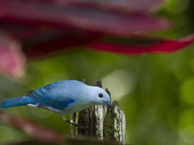 A Blue-Gray Tanager Pauses for a Photo in a Botanical Garden-Michael Melford-Photographic Print